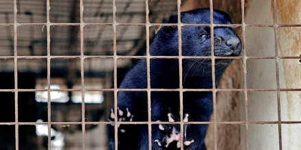 **FILE**A black mink looks out of its cage at the Ott Mink Farm Thursday, April 21, 2005, in Heafford Junction, Wisc. Two black-clad figures slipped through the northern Wisconsin pines nearly eight years ago, freeing mink from cages in what prosecutors believe was part of a plot to cripple fur farmers in three states. Authorities say one of those figures, Peter Daniel Young, should be brought to Wisconsin soon to face federal terrorism charges. (AP Photo/Morry Gash)