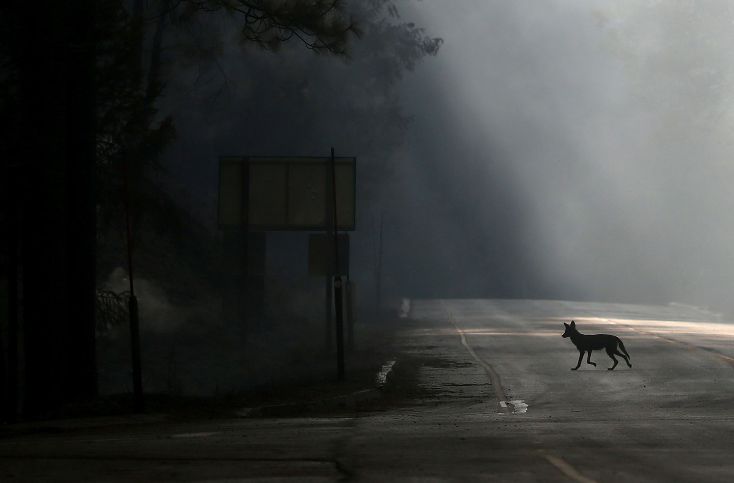 GROVELAND, CA - AUGUST 23:  A coyote walks across U.S. Highway 120, shut down due to the Rim Fire on August 23, 2013 near Groveland, California. The Rim Fire continues to burn out of control and threatens 4,500 homes outside of Yosemite National Park. Over 2,000 firefighters are battling the blaze that entered a section of Yosemite National Park overnight and is only 2 percent contained.  (Photo by Justin Sullivan/Getty Images)